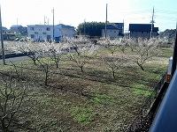 梅の花1.jpg