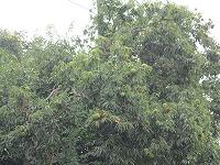 2012、栗の木.jpg