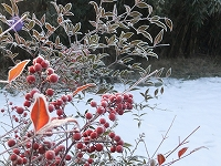 南天と雪2.jpg