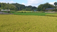収穫前の田んぼ.jpg