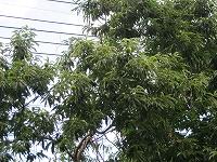 s-栗の木.jpg