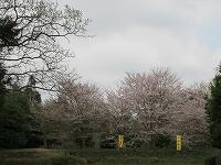 s-綺麗な桜.jpg