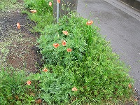s-駐車場に咲く花.jpg
