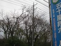 s-2012栗の木2.jpg
